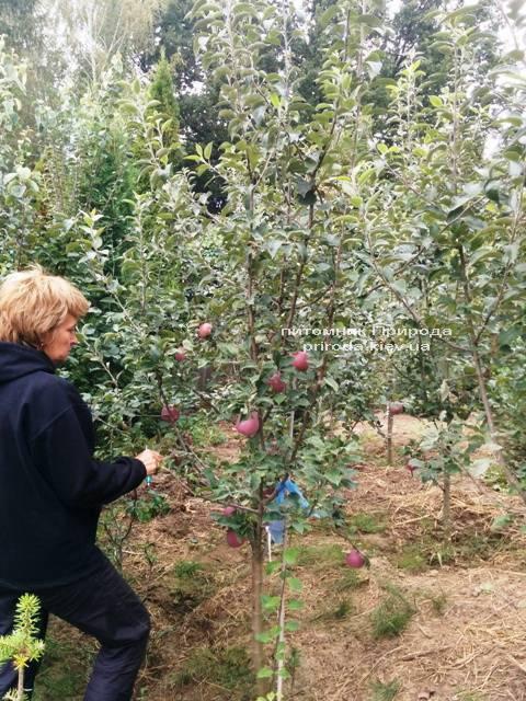 Яблоня Флорина зимний сорт ФОТО Питомник растений Природа Priroda (27)