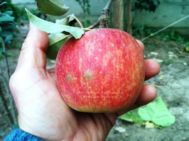 Яблоня Фуджи осенне-зимний сорт ФОТО Питомник растений Природа Priroda