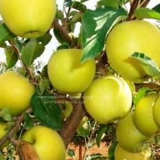 Яблоня Голден Делишес зимний сорт ФОТО Питомник растений Природа Priroda