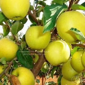 Яблоня Голден Делишес зимний сорт ФОТО Питомник растений Природа Priroda (30)