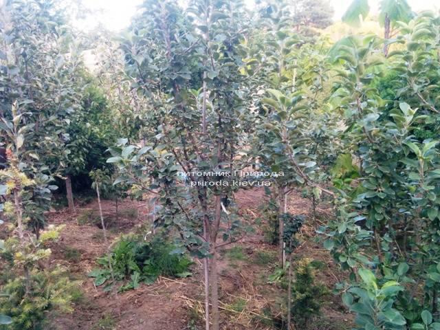 Яблоня Мекинтош осенне-зимний сорт ФОТО Питомник растений Природа Priroda