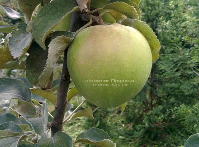 Яблоня Пепинка золотистая ФОТО Питомник растений Природа Priroda