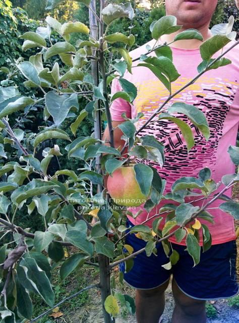 Яблоня Пепинка золотистая ФОТО Питомник растений Природа Priroda (22)