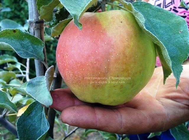 Яблоня Пепинка золотистая ФОТО Питомник растений Природа Priroda (23)