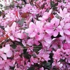 Яблоня райская декоративная Маковецки (Malus Makowieckiana) ФОТО Питомник растений Природа Priroda (13)