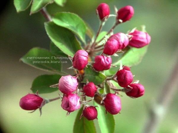 Яблоня райская декоративная Маковецки (Malus Makowieckiana) ФОТО Питомник растений Природа (14)