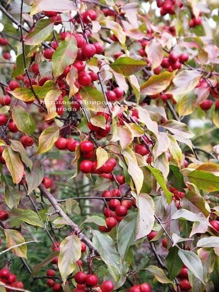 Яблоня райская декоративная Маковецки (Malus Makowieckiana) ФОТО Питомник декоративных растений Природа (15)