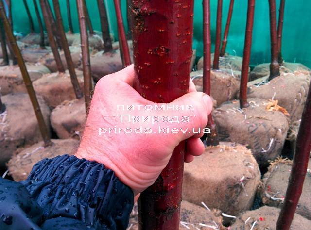 Яблоня райская декоративная Маковецки (Malus Makowieckiana) ФОТО Питомник декоративных растений Природа (19)