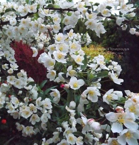Яблоня райская декоративная Ред Сентинел (Malus Red Sentinel) Питомник растений Природа Priroda (3)