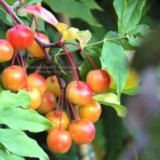 Яблоня райская декоративная Ред Сентинел (Malus Red Sentinel) Питомник декоративных растений Природа Priroda