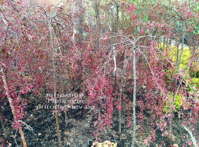 Яблоня райская декоративная Роял Бьюти (Malus Royal Beauty) на штамбе, плакучая форма Питомник растений Природа