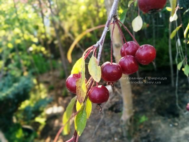 Яблоня райская декоративная Роял Бьюти (Malus Royal Beauty) на штамбе, плакучая форма Питомник декоративных растений Природа