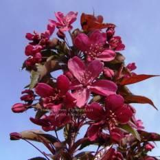 Яблоня райская декоративная Роял Бьюти (Malus Royal Beauty) на штамбе, плакучая форма ФОТО Питомник растений Природа Priroda (12)