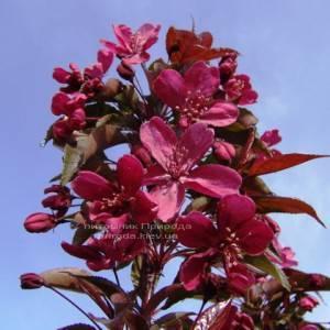 Яблоня райская декоративная Роял Бьюти (Malus Royal Beauty) на штамбе, плакучая форма ФОТО Питомник растений Природа Priroda