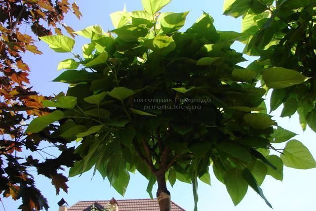 Катальпа бигнониевидная Нана (Catalpa bignoides Nana) на штамбе обхват ствола 10-12см Питомник декоративных растений Природа Priroda