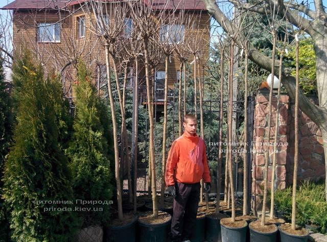 Катальпа бигнониевидная Нана (Catalpa bignoides Nana) на штамбе ФОТО Питомник декоративных растений Природа Priroda (4)