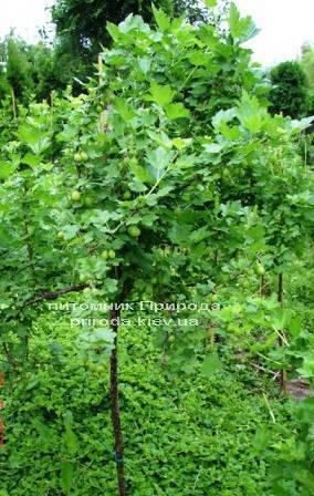 Крыжовник на штамбе ФОТО Питомник растений Природа Priroda