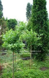 Крыжовник на штамбе ФОТО Питомник растений Природа Priroda (2)