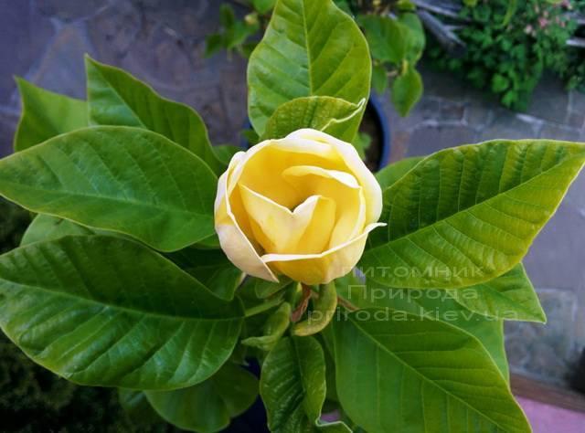 Магнолія бруклінська Еллоу Берд (Magnolia brooklynensis Yellow Bird) ФОТО Розплідник рослин Природа (Priroda) (16)