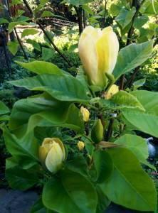 Магнолия бруклинская Еллоу Берд (Magnolia brooklynensis Yellow Bird) ФОТО Питомник растений Природа (Priroda) (17)