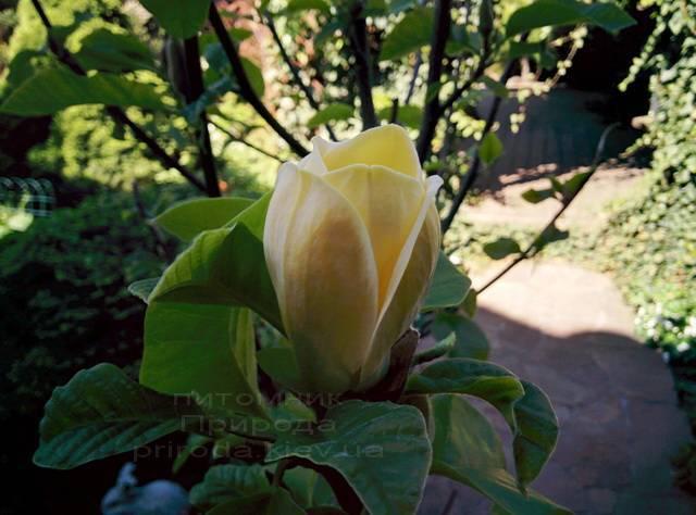 Магнолія бруклінська Еллоу Берд (Magnolia brooklynensis Yellow Bird) ФОТО Розплідник рослин Природа (Priroda) (19)