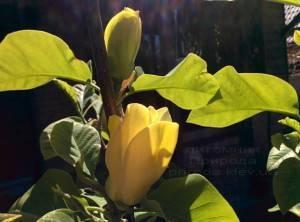 Магнолия бруклинская Еллоу Берд (Magnolia brooklynensis Yellow Bird) ФОТО Питомник растений Природа (Priroda) (20)