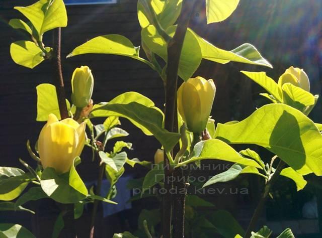 Магнолия бруклинская Еллоу Бирд / Yellow Bird / Жёлтая птица (Magnolia brooklynensis Yellow Bird) ФОТО Питомник растений Природа Priroda (21)