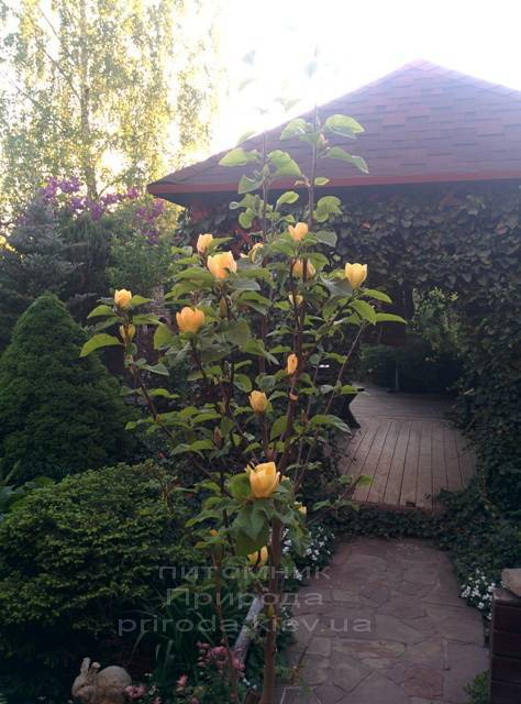 Магнолия бруклинская Еллоу Берд (Magnolia brooklynensis Yellow Bird) ФОТО Питомник растений Природа (Priroda) (22)
