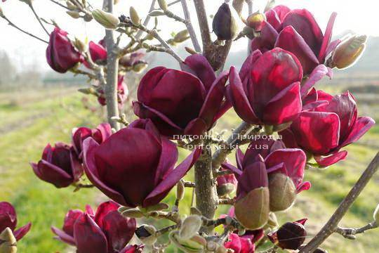 genie genie magnolia soulangiana. Black Bedroom Furniture Sets. Home Design Ideas