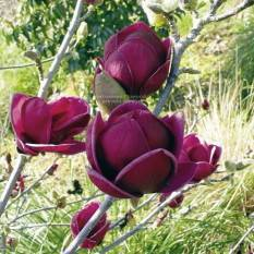 Магнолия Джени/Genie (Magnolia soulangiana Genie) ФОТО Питомник растений Природа Priroda