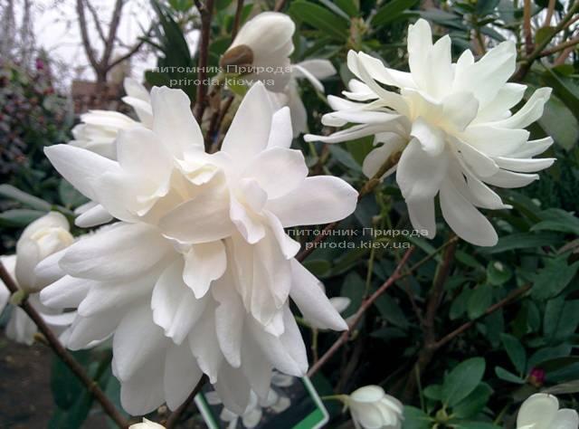 Магнолия Лебнера Вилдкэт (Magnolia loebneri Wildcat) ФОТО Питомник растений Природа Priroda (38)