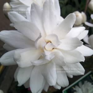 Магнолия Лебнера Вилдкэт (Magnolia loebneri Wildcat) ФОТО Питомник растений Природа Priroda (39)