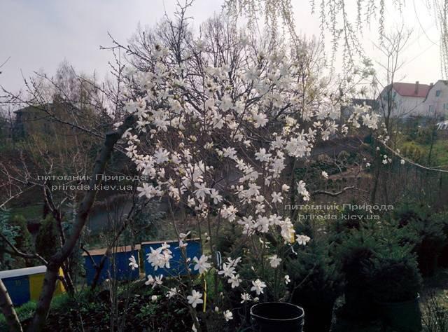 Магнолия Лебнера Меррилл (Magnolia Loebneri Merrill) ФОТО Питомник растений Природа Priroda (33)