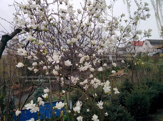 Магнолия Лебнера Меррилл (Magnolia Loebneri Merrill) ФОТО Питомник растений Природа Priroda (34)