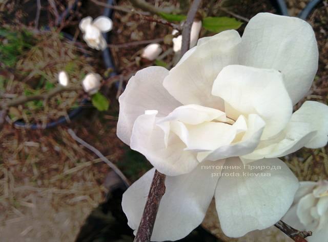 Магнолия Лебнера Меррилл (Magnolia Loebneri Merrill) ФОТО Питомник растений Природа Priroda