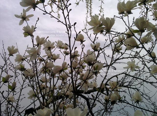 Магнолия Лебнера Меррилл (Magnolia Loebneri Merrill) ФОТО Питомник растений Природа Priroda (37)