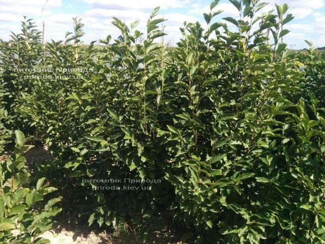 Магнолия Суланжа (Magnolia soulangeana) ФОТО Питомник растений Природа Priroda (12)