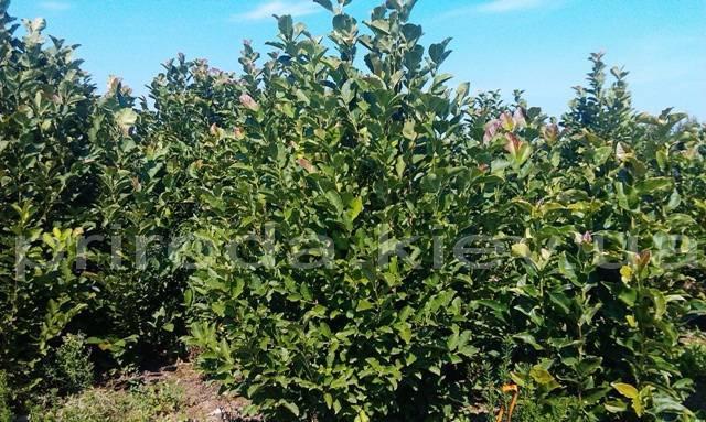 Магнолия Суланжа Специоза (Magnolia soulangeana Speciosa) ФОТО Питомник декоративных растений Природа/Priroda (4)