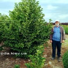 Магнолия Суланжа Специоза (Magnolia soulangeana Speciosa) ФОТО Питомник декоративных растений