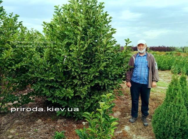 Магнолия Суланжа Специоза (Magnolia soulangeana Speciosa) ФОТО Питомник декоративных растений (1)