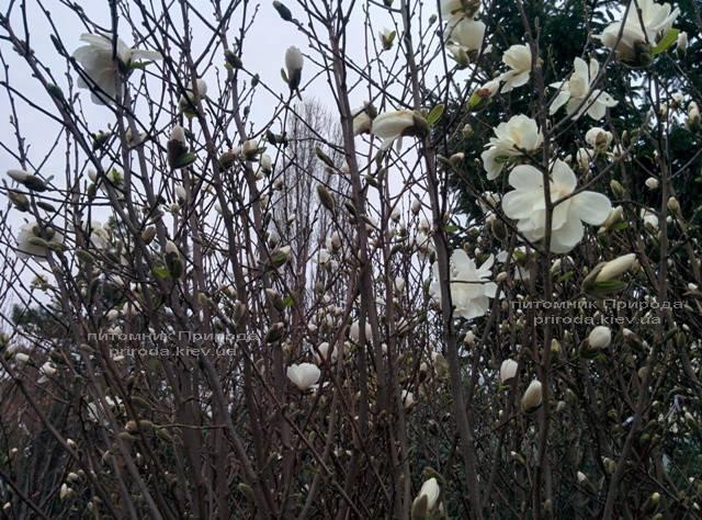 Магнолия Суланжа Специоза (Magnolia soulangeana Speciosa) ФОТО Питомник декоративных растений Природа (6)