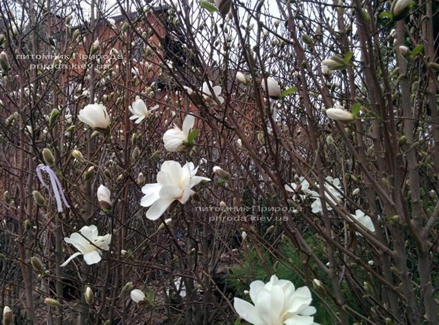 Магнолія Суланжа Спеціоза (Magnolia soulangeana Speciosa) ФОТО Розплідник декоративних рослин Природа (8)