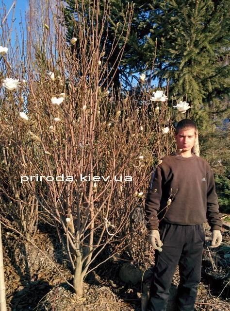 Магнолия Суланжа Специоза (Magnolia soulangeana Speciosa) ФОТО Питомник растений Природа