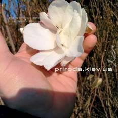 Магнолия Суланжа Специоза (Magnolia soulangeana Speciosa) ФОТО Питомник декоративных растений (7)