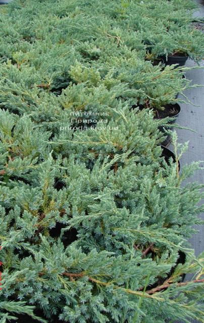 Можжевельник чешуйчатый Блу Карпет (Juniperus squamata Blue Carpet) ФОТО Питомник декоративных растений Природа Priroda
