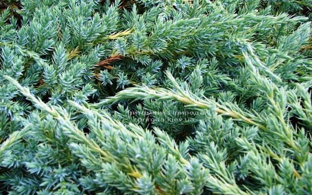 Можжевельник чешуйчатый Блу Карпет (Juniperus squamata Blue Carpet) ФОТО Питомник декоративных растений Природа
