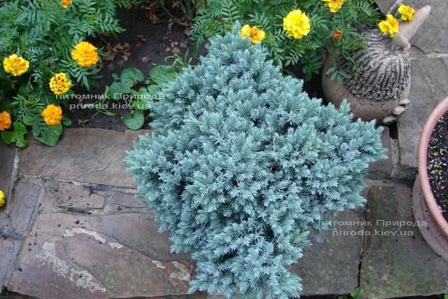 Ялівець лускатий Блю Стар (Juniperus squamata Blue Star) ФОТО Розплідник рослин Природа Priroda