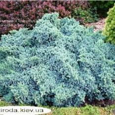 Можжевельник чешуйчатый Блю Стар (Juniperus squamata Blue Star) ФОТО Питомник декоративных растений Природа Priroda (89)