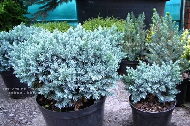 Можжевельник чешуйчатый Блю Стар (Juniperus squamata Blue Star) ФОТО Питомник декоративных растений Природа