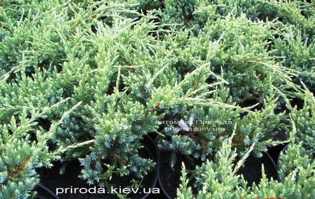 Можжевельник чешуйчатый Холгер (Juniperus squamata Holger) ФОТО Питомник декоративных растений Природа (Priroda) (11)